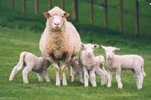 В Австралии владельцы овец решили выступить против действий властей по разработке газа в регионе