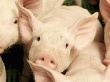 Чума наступает. На свиноводстве можно ставить крест?