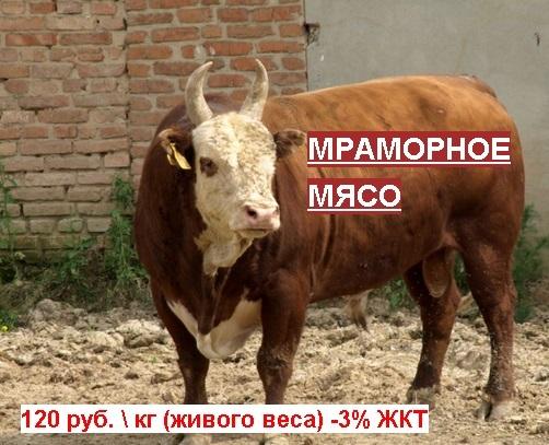 Племенные Бычки - Мраморное Мясо, 500-600 кг, выход мяса 65+