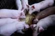 Почему небольшие фермы могут спасти свиноводство на Филиппинах?