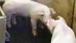 Житель Сызрани ускорил набор веса свиней с помощью зеркал