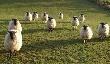 Романовские овцы обживают Турцию