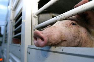 В Бельгии на наличие вируса АЧС проверяют 67 свиноводческих ферм