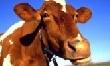 В Приморье появилось больше мяса и молока