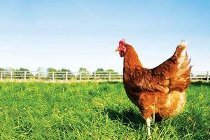 Фермеры Калининградской области делают ставку на птицеводство