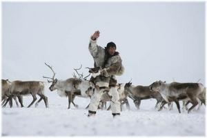 Улучшенные модели спутниковых ошейников испытают на чукотских оленях