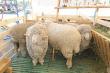 Минсельхоз России высоко оценил овцеводство Забайкальского края