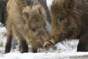 Количество диких свиней в Германии продолжает увеличиваться