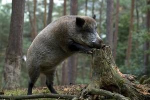 В Латвии АЧС подтверждена еще у 12 диких кабанов (8)