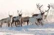 На Ямале нелегально уничтожили больше 22 тысяч погибших оленей