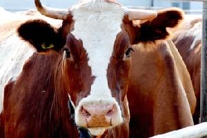 Псковские фермеры попросили возместить потери, которые они понесут в случае убоя больных животных