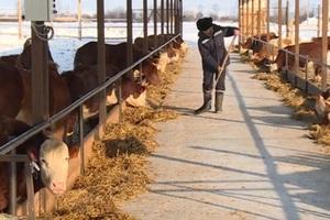 Ещё один производитель мраморной говядины появился в Алтайском крае