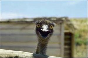 Две страусиные фермы пострдадали от птичьего гриппа в ЮАР