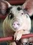 Россия приостановит импорт европейских животных из-за болезней