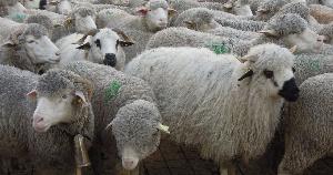При системной поддержке потенциал овцеводства на Северном Кавказе вырастет на порядок