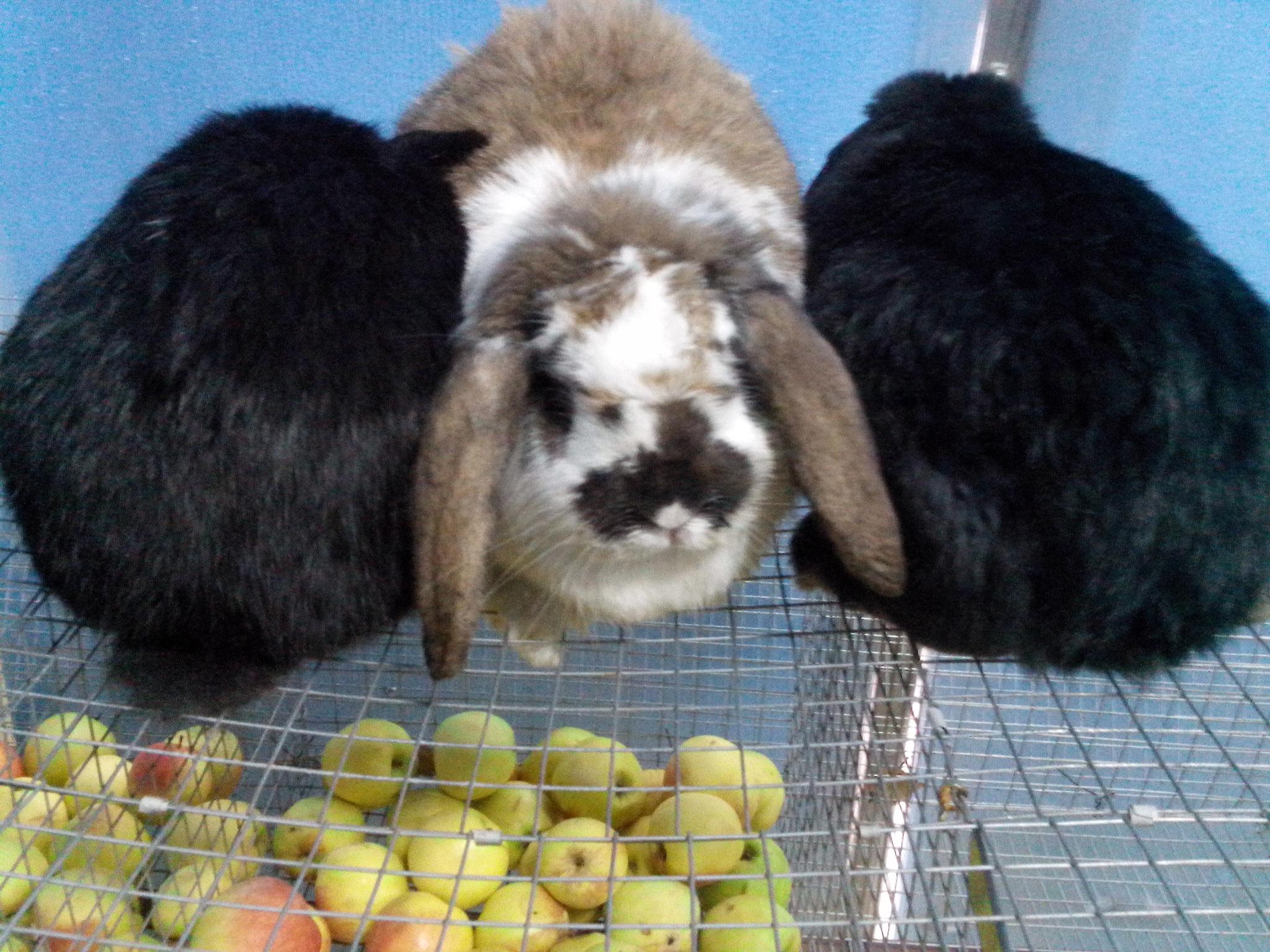 Продажа кроликов, гусей, кур