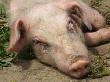В Украине запретили российских свиней