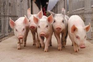 Тысяча племенных свиней самолетом доставлена из Франции в Китай