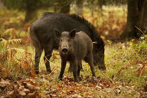 В Киевской области обнаружена африканская чума свиней
