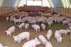 В Самарской области построят свинокомплекс