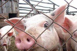 В Украине 12 свинохозяйств закрылись из-за африканской чумы свиней