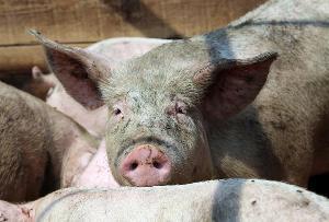 В Смоленской области судом приостановлена деятельность свиноводческого хозяйства