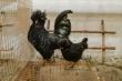 Киевлянка выращивает рогатых кур с черным мясом