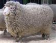 В Ставрополье выведены две новые породы овец, высоко продуктивные по шерсти и мясу