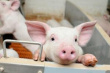 На Кубани построят свиноводческий комплекс за 1,6 млрд рублей