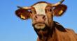 Инспекторы Еврокомиссии прибыли в Польшу из-за экспорта мяса больных коров