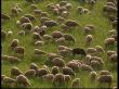 В Забайкалье завершается разработка комплексной программы развития овцеводства