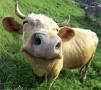 Австралия: Счастливый скот дает мясо высокого качества