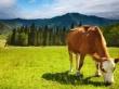 Алтайский край производит 22% скота и птицы на убой в Сибири