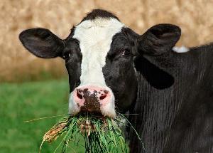 Аргентина, будучи крупным экспортером говядины, занялась генетическим улучшением кормов