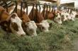 На Украине не развит рынок сочных кормов для КРС — эксперт