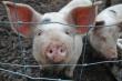 В Украине сократилось производство свинины и говядины