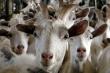 В Башкирии планируют построить крупную козью ферму