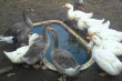 Инвесторы из Ирана возрождают разведение гусей и уток в Беларуси