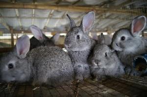 Причиной массовой гибели кроликов стал токсичный корм