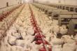 Краснодарский край: имущество Витязевской птицефабрики вновь выставлено на аукцион