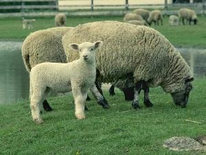 В Волгоградской области отбирают лучших овец для участия в сельхозвыставке