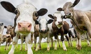 Кормовая добавка из камчатского краба улучшает воспроизводительную функцию коров — ученые