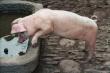 ИМИТ: в Бразилии наблюдается обвал цен на свинину, а в России пока другая картина