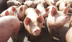 Китай вводит в эксплуатацию три крупных свинокомплекса в Аргентине