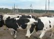 ФАУГИ выставляет на торги «Агроплемкомбинат «Мир»