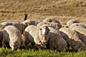 В Казахстане развивается мясо-сальное овцеводство