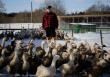 Тушка на дом. Фермер из Гатчинского района запустил продажу мяса птицы через интернет