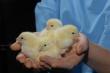 В России создан новый отраслевой союз – Национальный союз птицеводов