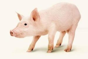 На Украине цены на живых свиней выросли более чем на 25%