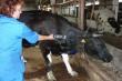 В Зауралье продолжается активная работа по мечению сельхозживотных
